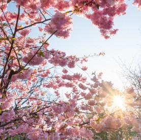 Sakura – Japanische Kirschblüte